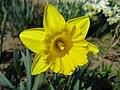 Narcis (4).jpg