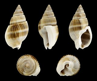 <i>Nassarius siquijorensis</i> species of mollusc