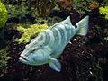 Nassau grouper in Blijdorp Zoo.jpg
