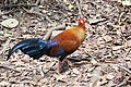 National bird of Sri Lanka; Jungle Fowl.jpg