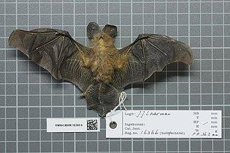 Bates's slit-faced bat - Image: Naturalis Biodiversity Center RMNH.MAM.16366.b ven Nycteris arge skin