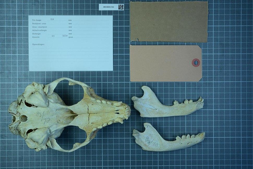 Naturalis Biodiversity Center - ZMA.MAM.21504 pal - Phoca vitulina Linnaeus, 1758 - skull.jpeg