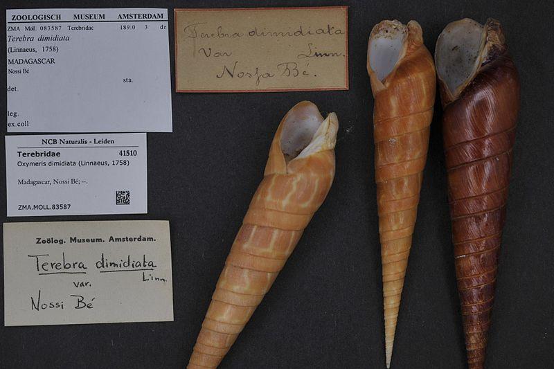 File:Naturalis Biodiversity Center - ZMA.MOLL.83587 - Oxymeris dimidiata (Linnaeus, 1758) - Terebridae - Mollusc shell.jpeg