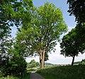 Naturdenkmal Esche im Hochsauerlandkreis bei Freienohl (zu Meschede) an der Bahnhofstraße.JPG