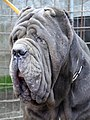 Neapolitan Mastiff Male Head.JPG