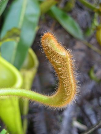 Indumentum - Image: Nepenthes chaniana 5