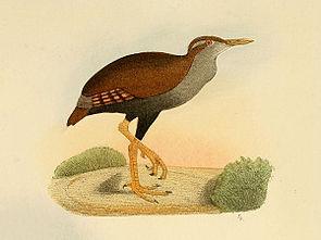 Nesoclopeus.poecilopterus.ofgh.jpg
