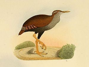 Bar-winged rail - Drawing from 1867