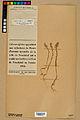 Neuchâtel Herbarium - Alyssum alyssoides - NEU000021958.jpg