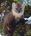 Newfoundland Pine Marten (cropped).jpg