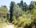Newlands Forest - Endangered Granite Fynbos and Silvertree with Pine plantation in background.JPG