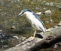 Night Heron (4202633731).jpg