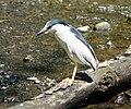 Night Heron (4202633731).jpg