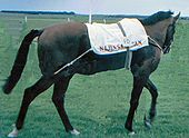 Photograph from the side of horse Nijinsky II, who is walking round the paddock at the 1970 Irish Derby.