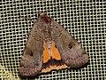 Noctua interposita - Ленточная совка сходная (39280425470).jpg