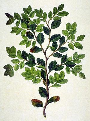 Nothofagus betuloides - Image: Nothofagus Betuloides 2