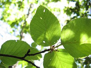 Fuscospora alessandri - Image: Nothofagus alessandri