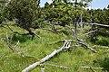 Novodomské rašeliniště 2020-06-27 Suchopýr.jpg