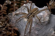 Nursery web spider 1.jpg