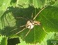 Nursery web spider 1b (FG) (5802460224).jpg