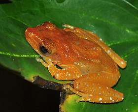 Nycticalus pictus seen on a leaf in Singapore.jpg