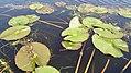 Nymphaea alba 6.jpg