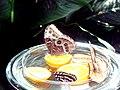 Nymphalidae 2.jpg