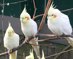 """Amelanism - Amelanistic (""""lutino"""") cockatiels retain their carotenoid-based red and yellow pigments."""