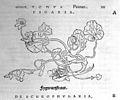 O. Brunfels, Herbarium vivae ei coneb ad nat Wellcome L0032318.jpg