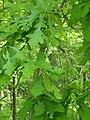 Oak P5200018.JPG