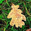 Oak leaf - Flickr - Stiller Beobachter.jpg