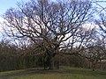 Oak of Honour - geograph.org.uk - 731949.jpg