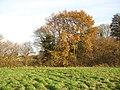 Oak tree in autumn foliage - geograph.org.uk - 1588316.jpg