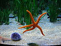 Oceanografic - Echinodermi 1.JPG