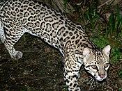 Ocelot (Leopardus pardalis) -Belize Zoo-6