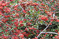 OchnaSerrulata plant of South Africa.jpg