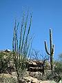 Ocotillo and saguaro, Saguaro NP (RMD) (da6412f0-9d3e-4f72-900f-df0632e2de67).jpg