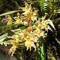 Odontoglossum praestans (2)