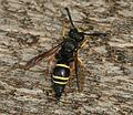 Odynerus species (Mason Wasp) - Flickr - S. Rae.jpg