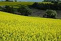 Oil seed rape fields - geograph.org.uk - 1338711.jpg
