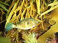 Omegophora cyanopunctata Bluespotted toadfish PC290509.JPG