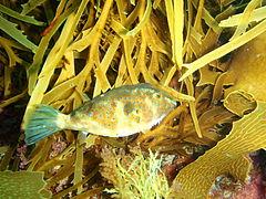 Omegophora cyanopunctata Bluespotted toadfish PC290509