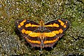 Open wing position of Symbrenthia lilaea Hewitson, 1864 – Northern Common Jester WLB DSC 1305.jpg