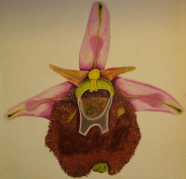 File:Ophrys holosericea chestermanii DIS01.JPG