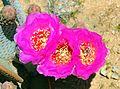 Opuntia Chlorotica-Diadasia.jpg