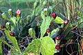 Opuntia ficus-indica flower, Saptari (6).jpg