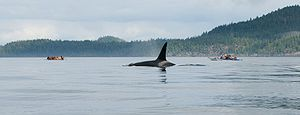 Michael Bigg - Johnstone Strait is the summer home to a large number of resident killer whales, and includes the Robson Bight/Michael Bigg Ecological Reserve