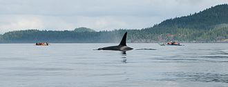 Johnstone Strait - Johnstone Strait is the summer home to a large number of orca whales.