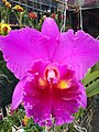 Orchid from Thailand 2.jpg