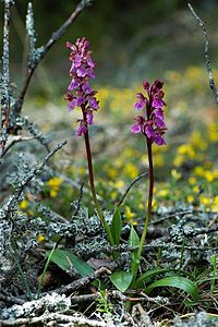 Orchis-spitzelii-mgk-1.jpg
